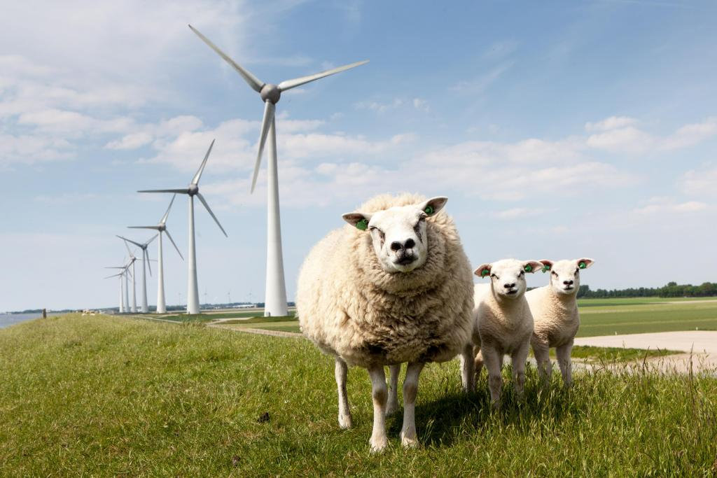 schapen windmolens